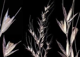 Apera spica-venti (L.) P.Beauv. subsp. spica-venti - Flora urbana ...