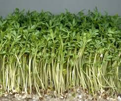 Lepidium sativum - Wikipedia