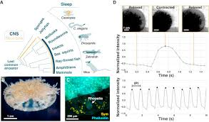 The <b>Jellyfish</b> Cassiopea Exhibits a Sleep-like State: Current Biology