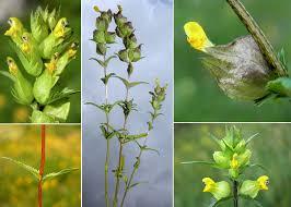 Rhinanthus minor L. - Sistema informativo sulla flora vascolare dei ...