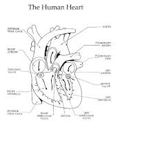 the heart and circulation of blood