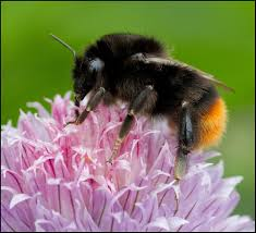 Red-tailed <b>bumblebee</b> - <b>Bumblebee</b> Conservation Trust