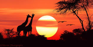 African sunset with two giraffes