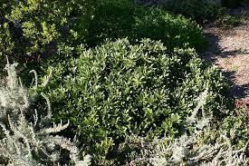Rhamnus (Frangula) californica 'Seaview' | California Flora Nursery