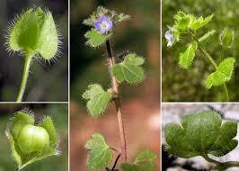 Veronica hederifolia L. - Sistema informativo sulla flora vascolare ...