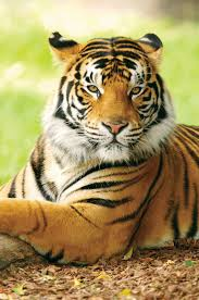 <b>tiger</b> | Facts, Information, & Habitat | Britannica