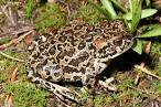 yosemite toad