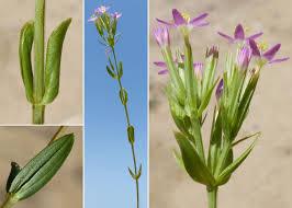 Centaurium tenuiflorum (Hoffmanns. & Link) Fritsch subsp ...