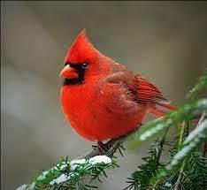 「cardinal bird wiki」の画像検索結果