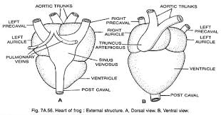 essay on frogsboth the auricles open into a single ventricle by a common wide auriculo ventricular aperture  which is guarded by a valve  the auriculoventricular valve