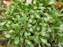 Etnanatura Flora: Limonium ponzoi