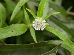 Eclipta prostrata - Useful Tropical Plants