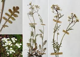 Murbeckiella zanonii (Ball) Rothm. - Portale alla flora del Parco ...