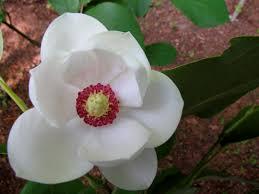 Resultado de imagem para magnolias