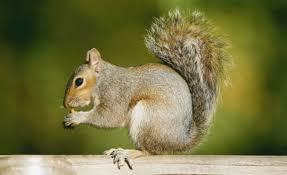 Resultado de imagem para foto de esquilos