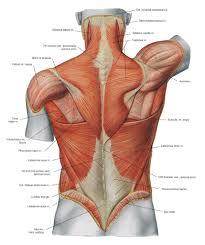 human anatomy careers body anatomy career ideas for psychology majors