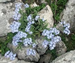 Boraginaceae - Wikipedia
