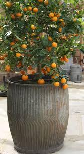 lemon tree container x