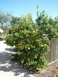 lemon tree x: meyer lemon tree meyers lemon tree valley lemon citrus x meyeri