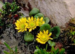 Ranunculaceae in Flora of China @ efloras.org