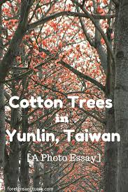 orange flowers everywhere cotton trees in yunlin taiwan a photo cotton trees in yunlin taiwan a photo essay