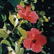 Thymelaeaceae | plant family | Britannica.com
