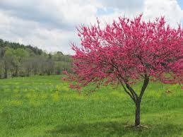 Image result for redbud tree wallpaper