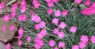 Dianthus | Better Homes & Gardens