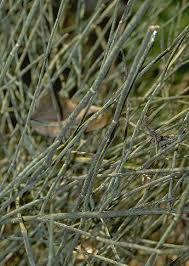 Ephedraceae