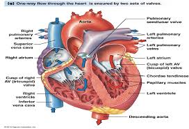 how does blood flow through the hearthuman heart diagram