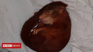 German police save man from baby <b>squirrel</b> terror - BBC News