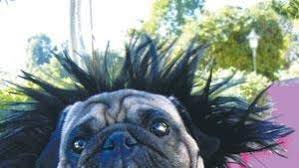 Get a taste of the <b>pug life</b> at Del Mar Fairgrounds on May 6 - The San ...