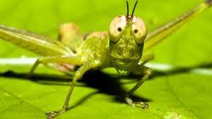 Resulta ng larawan para sa grasshopper