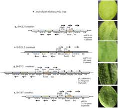 Comparison of Five Major Trichome Regulatory Genes in Brassica ...