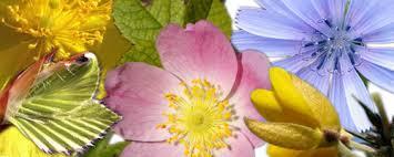Risultati immagini per fiori di bach in gravidanza
