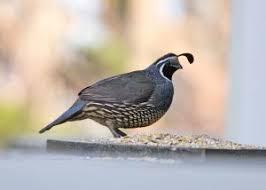 Image result for quails