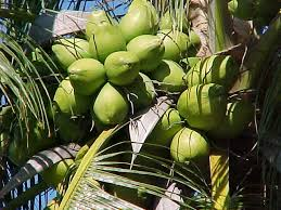 Image result for coconut trees