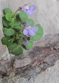 Evolution, biogeography and systematics of the genus Cymbalaria ...