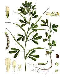 Trigonella foenum-graecum - Wikipedia