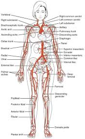 human anatomy diagram   human anatomy for muscle  reproductive        anatomical diagrams for medical students human anatomy and physiology diagrams  circulatory system diagram