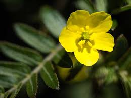 Does Tribulus Terrestris Really Work? An Evidence-Based Look