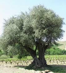 Résultats de recherche d'images pour «olivier»