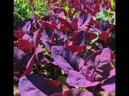 Red Orach Atriplex hortensis A BEAUTIFUL PLANT!! #Orach ...
