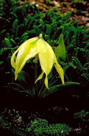Liliaceae in Flora of China @ efloras.org