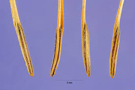 Plants Profile for Scandix pecten-veneris (shepherdsneedle)