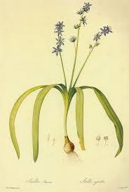 Schöner Blaustern – Wikipedia