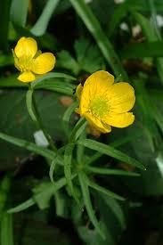 Ranunculaceae - Wikipedia