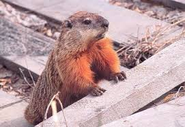 Image result for friendly groundhog