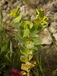 Euphorbia akenocarpa