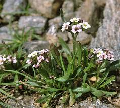 Braya alpina